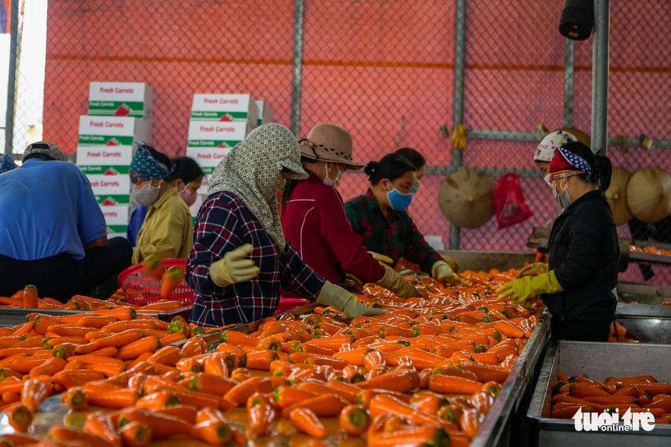 Dân Cẩm Giàng phấn khởi vì cà rốt được mùa, giá tốt bất chấp dịch COVID-19 - Ảnh 5.