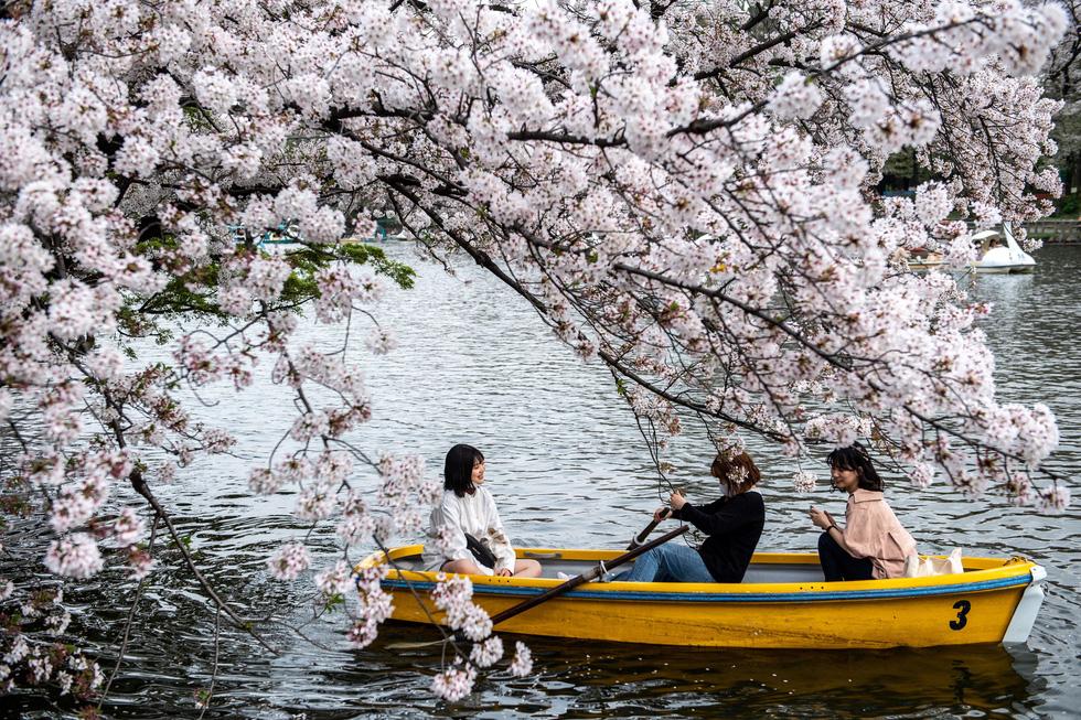 Hoa anh đào Nhật nở rộ bất thường: Vẻ đẹp tiềm ẩn hiểm họa - Ảnh 2.