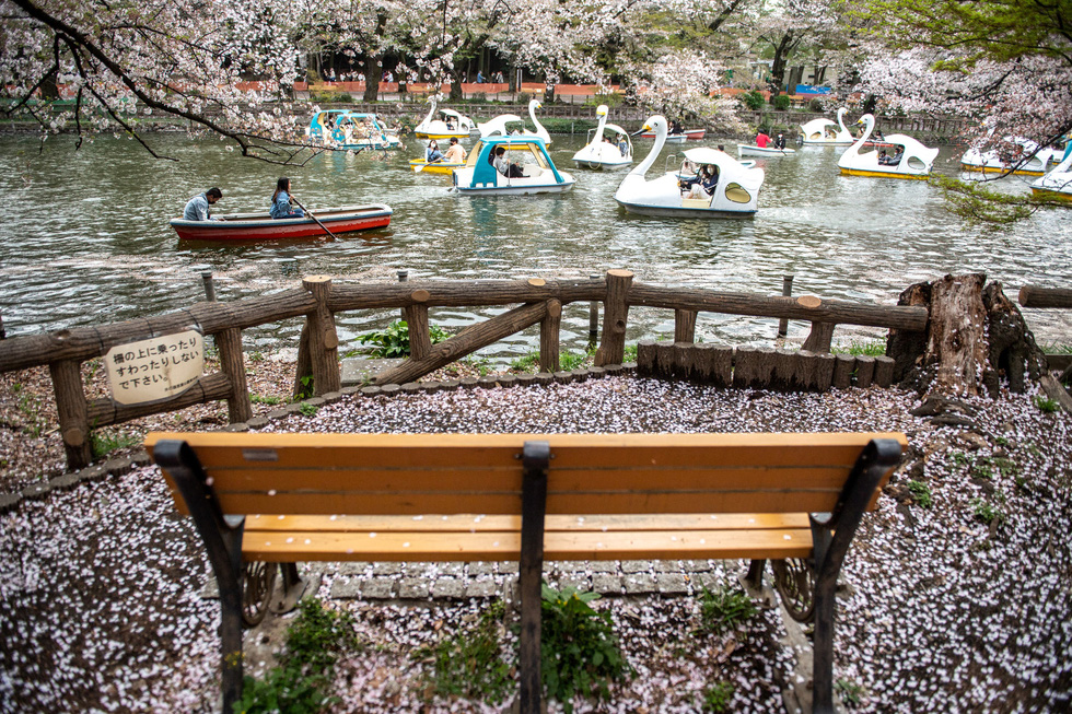 Hoa anh đào Nhật nở rộ bất thường: Vẻ đẹp tiềm ẩn hiểm họa - Ảnh 4.