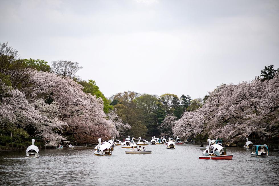 Hoa anh đào Nhật nở rộ bất thường: Vẻ đẹp tiềm ẩn hiểm họa - Ảnh 1.