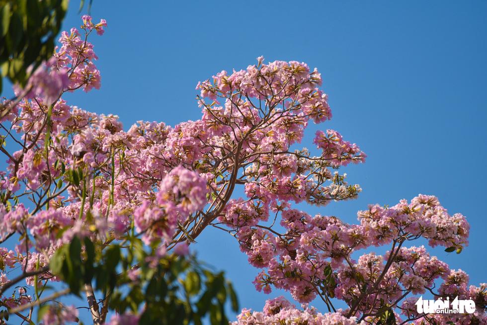 Bạn trẻ rủ nhau check-in với sắc hoa kèn hồng - Ảnh 9.