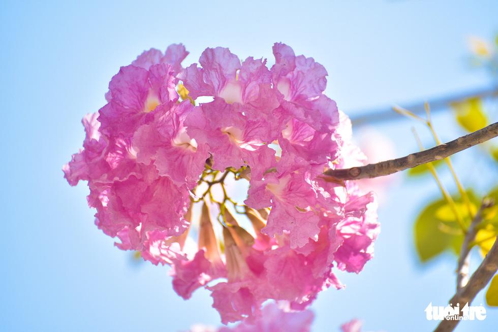 Bạn trẻ rủ nhau check-in với sắc hoa kèn hồng - Ảnh 8.
