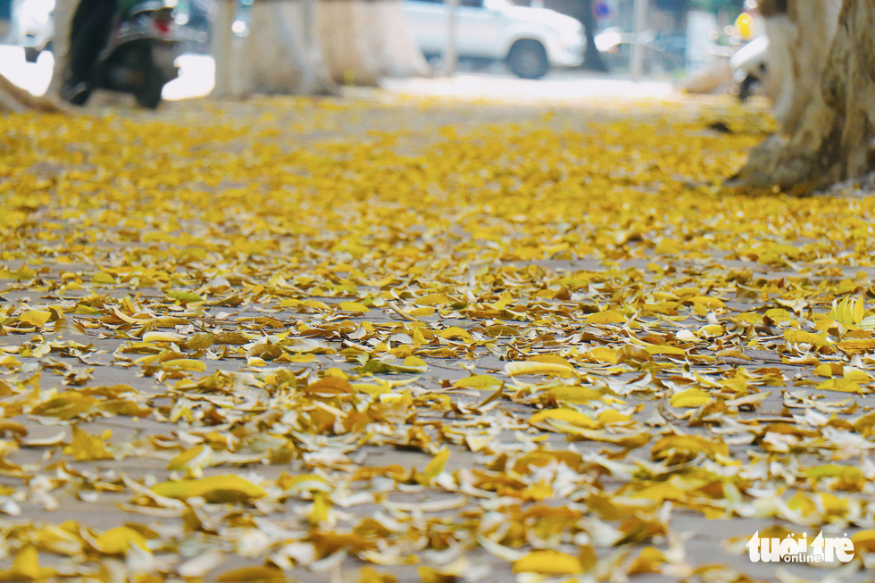 Con đường đẹp nhất Hà Nội rực vàng mùa sấu thay lá - Ảnh 1.