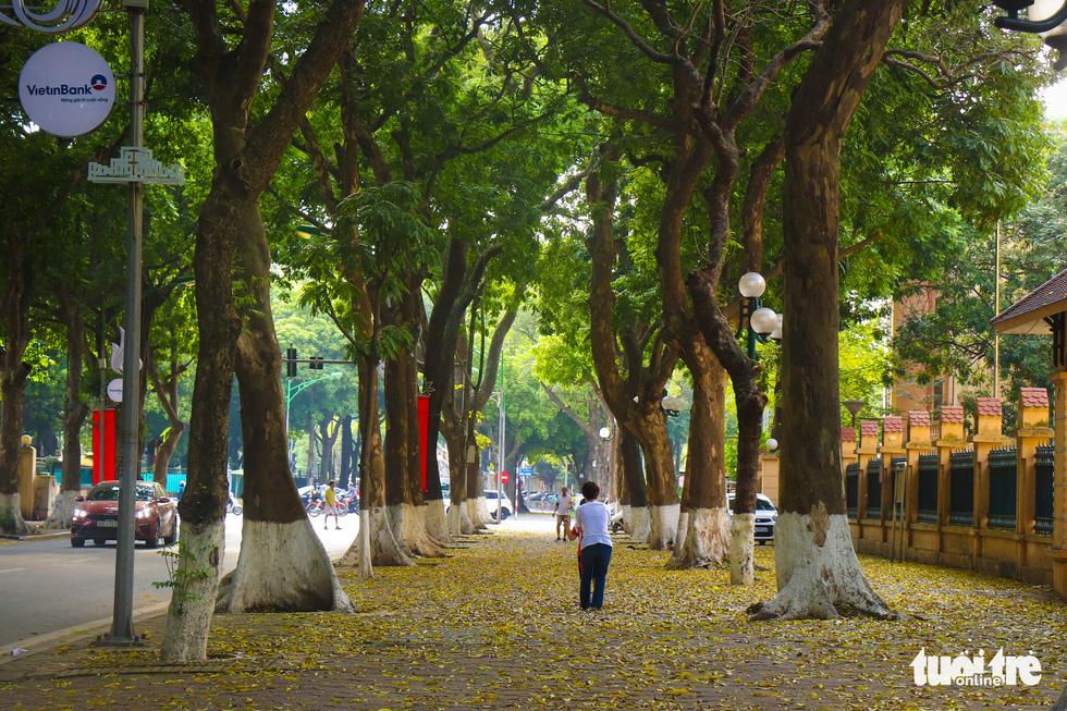 Con đường đẹp nhất Hà Nội rực vàng mùa sấu thay lá - Ảnh 2.