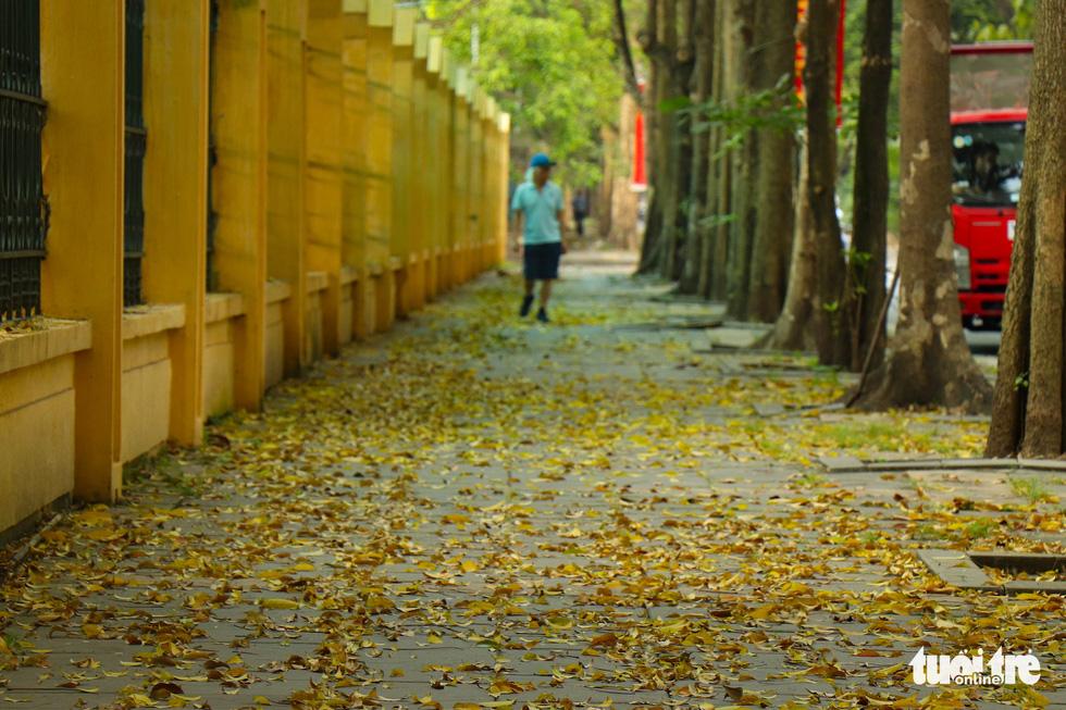 Con đường đẹp nhất Hà Nội rực vàng mùa sấu thay lá - Ảnh 8.