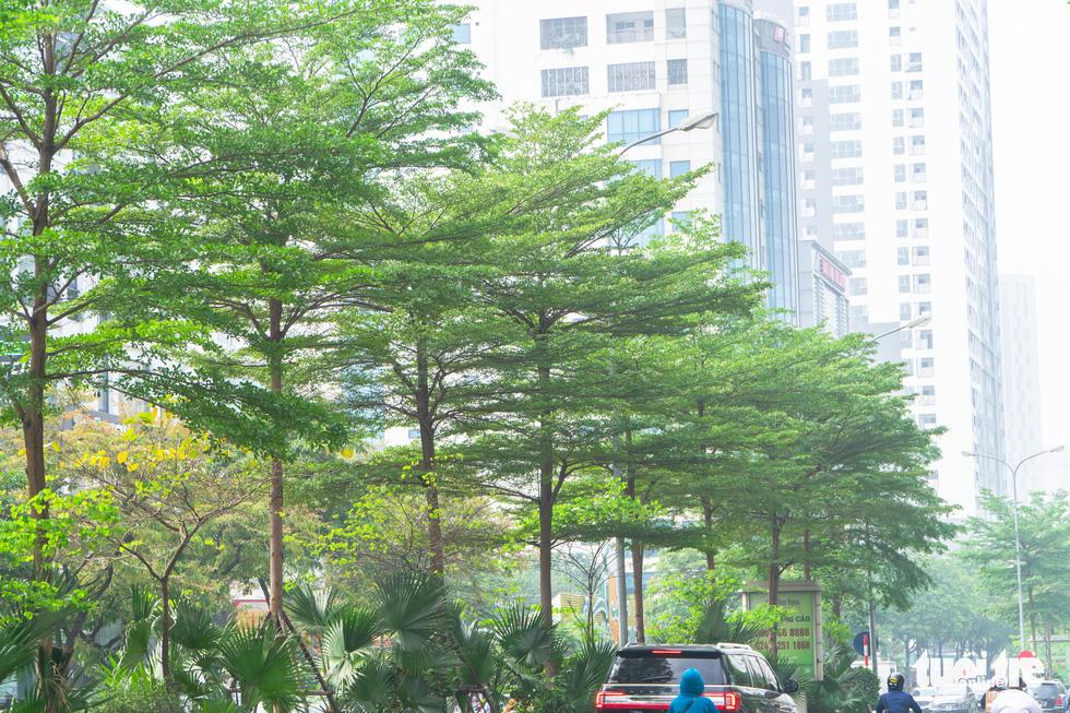 Cây phong lá đỏ ở Hà Nội không phù hợp nên chết khô là tất yếu - Ảnh 8.