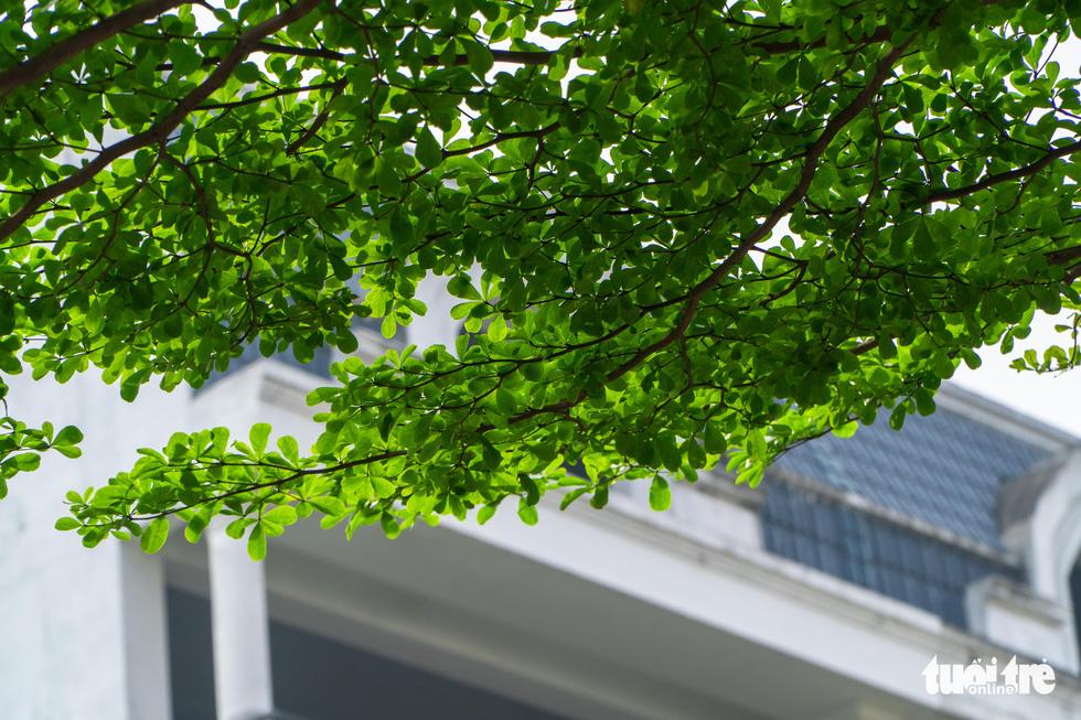 Cây phong lá đỏ ở Hà Nội không phù hợp nên chết khô là tất yếu - Ảnh 9.