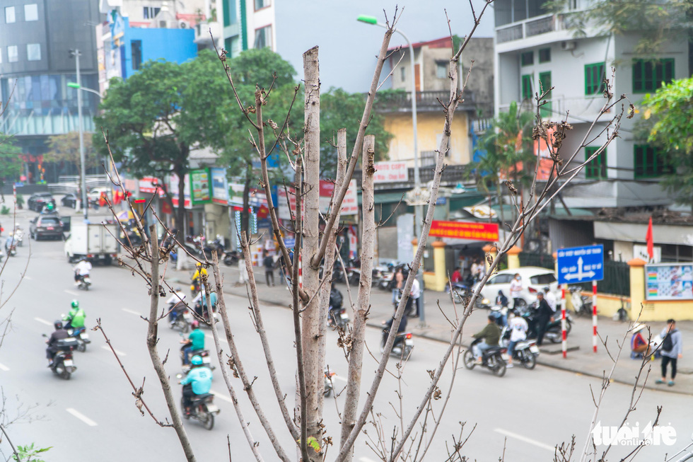 Cây phong lá đỏ ở Hà Nội không phù hợp nên chết khô là tất yếu - Ảnh 2.