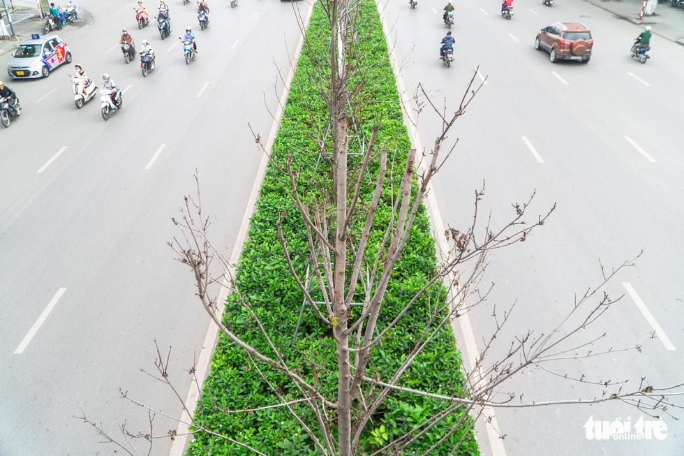 Cây phong lá đỏ ở Hà Nội không phù hợp nên chết khô là tất yếu - Ảnh 4.
