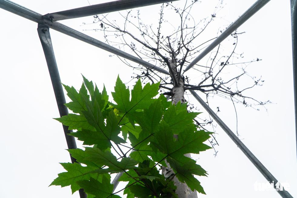 Cây phong lá đỏ ở Hà Nội không phù hợp nên chết khô là tất yếu - Ảnh 7.