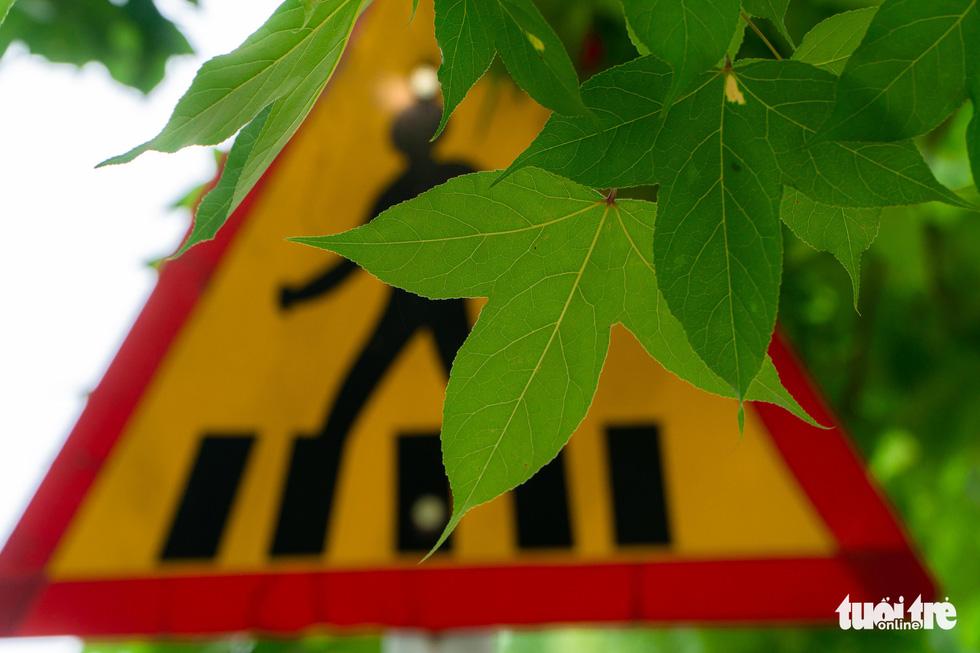 Hàng cây ở khu Ngoại giao đoàn là phong lá đỏ? - Ảnh 2.