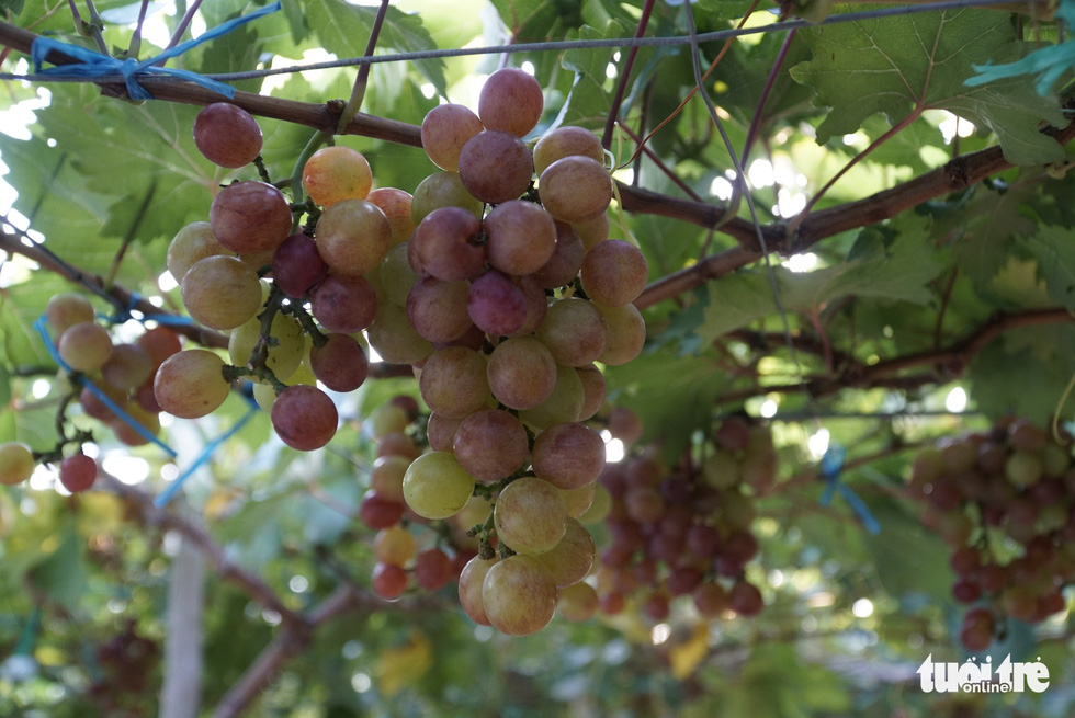 Vườn nho trĩu quả ở Đồng Tháp mở cửa tham quan miễn phí - Ảnh 2.