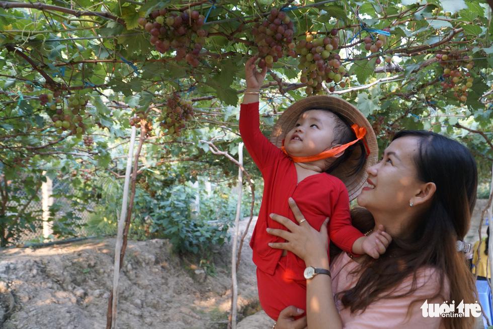 Vườn nho trĩu quả ở Đồng Tháp mở cửa tham quan miễn phí - Ảnh 1.