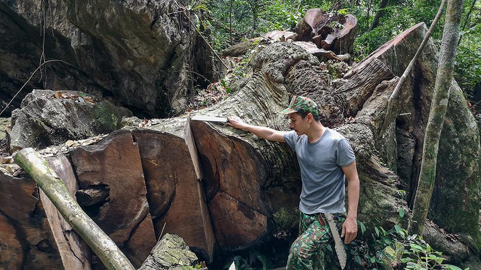 Chảy máu rừng đặc dụng Cham Chu: Tàn sát cổ thụ để lấy nu gỗ - Ảnh 1.