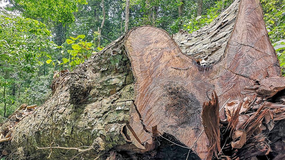 Chảy máu rừng đặc dụng Cham Chu: Tàn sát cổ thụ để lấy nu gỗ - Ảnh 2.