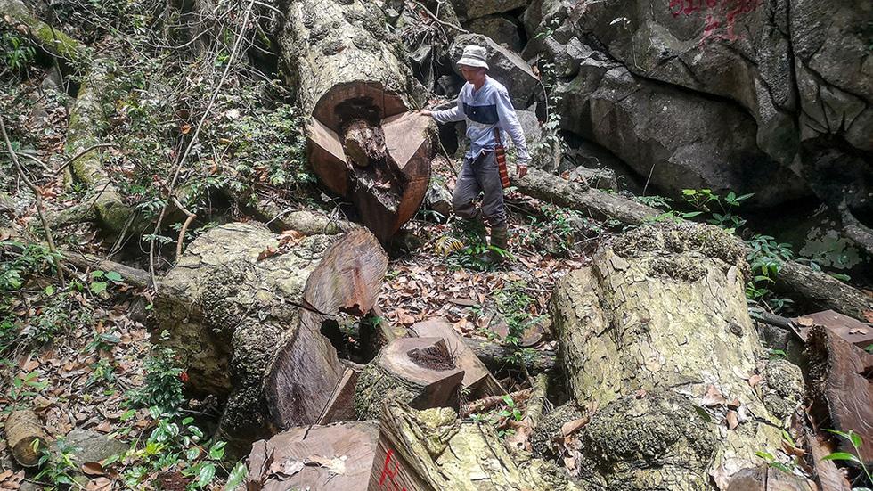 Chảy máu rừng đặc dụng Cham Chu: Tàn sát cổ thụ để lấy nu gỗ - Ảnh 5.