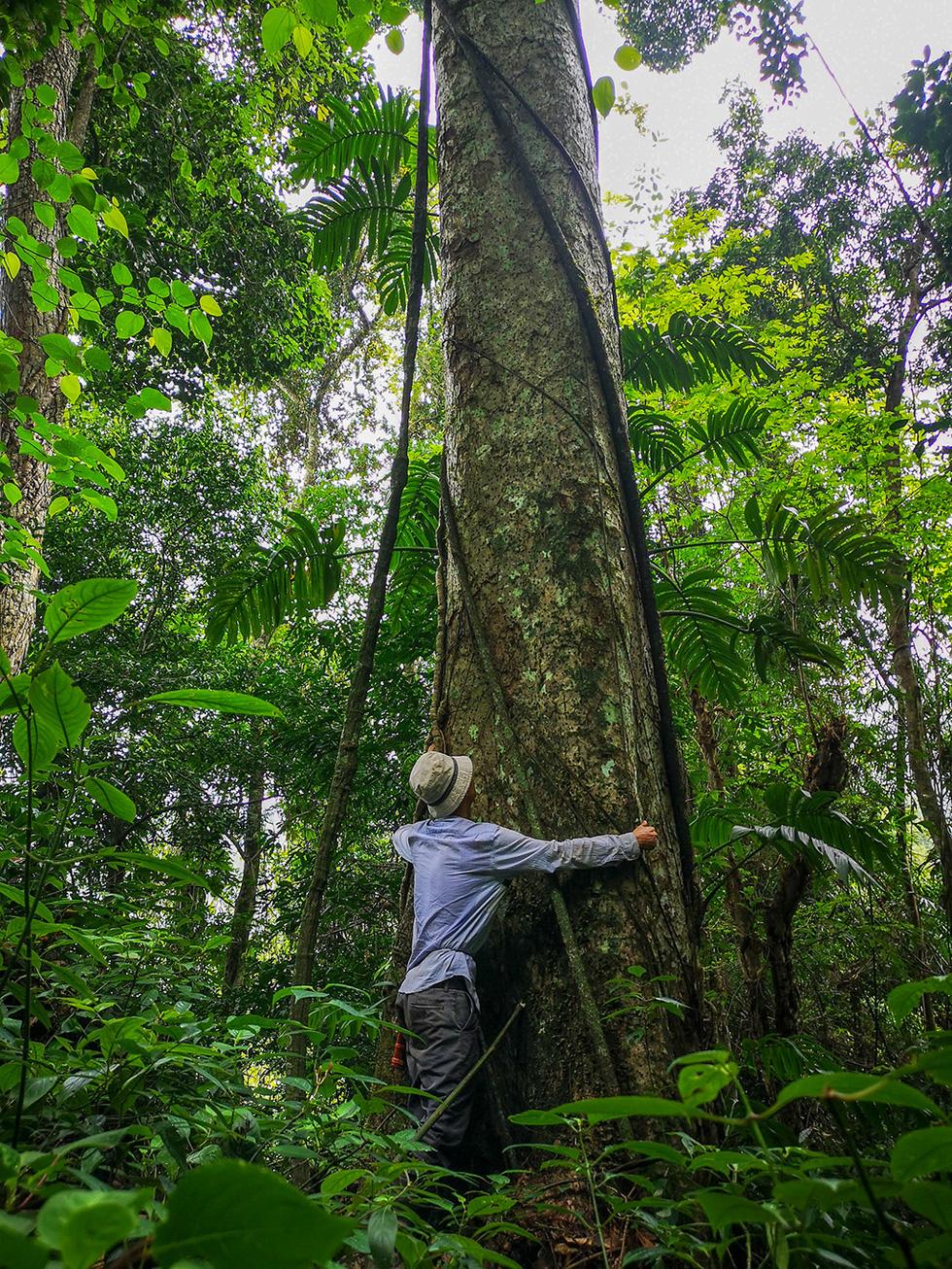 Chảy máu rừng đặc dụng Cham Chu: Tàn sát cổ thụ để lấy nu gỗ - Ảnh 4.