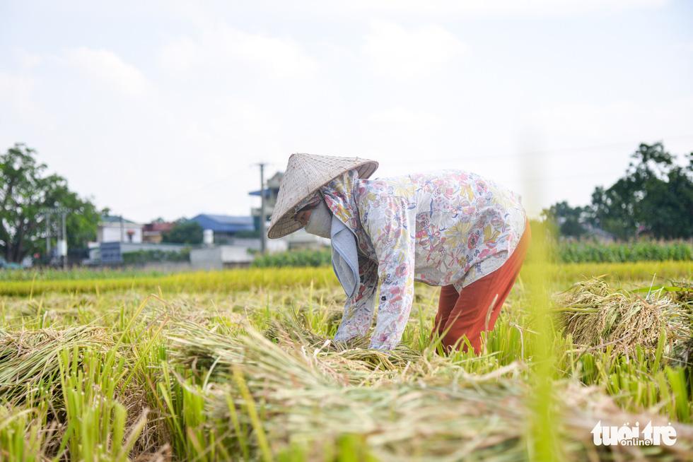 Tháng năm mùa gặt về, nông dân 'đội nắng' ra đồng thu hoạch lúa - Ảnh 1.