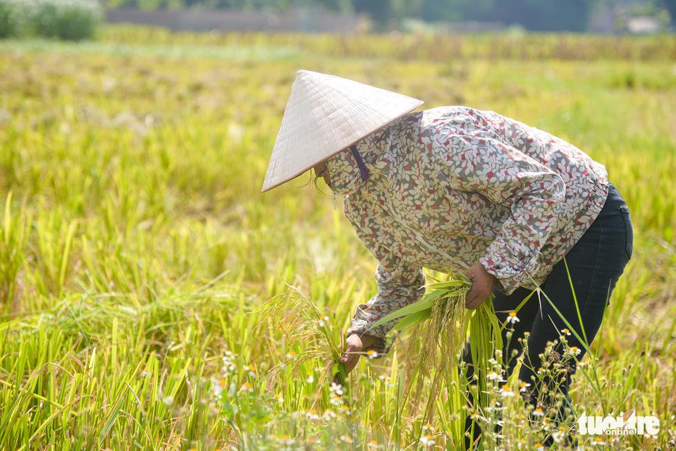 Tháng năm mùa gặt về, nông dân 'đội nắng' ra đồng thu hoạch lúa - Ảnh 3.