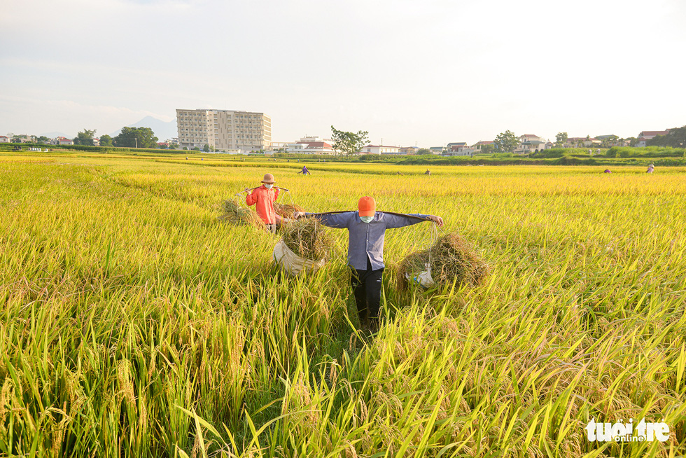 Tháng năm mùa gặt về, nông dân 'đội nắng' ra đồng thu hoạch lúa - Ảnh 5.