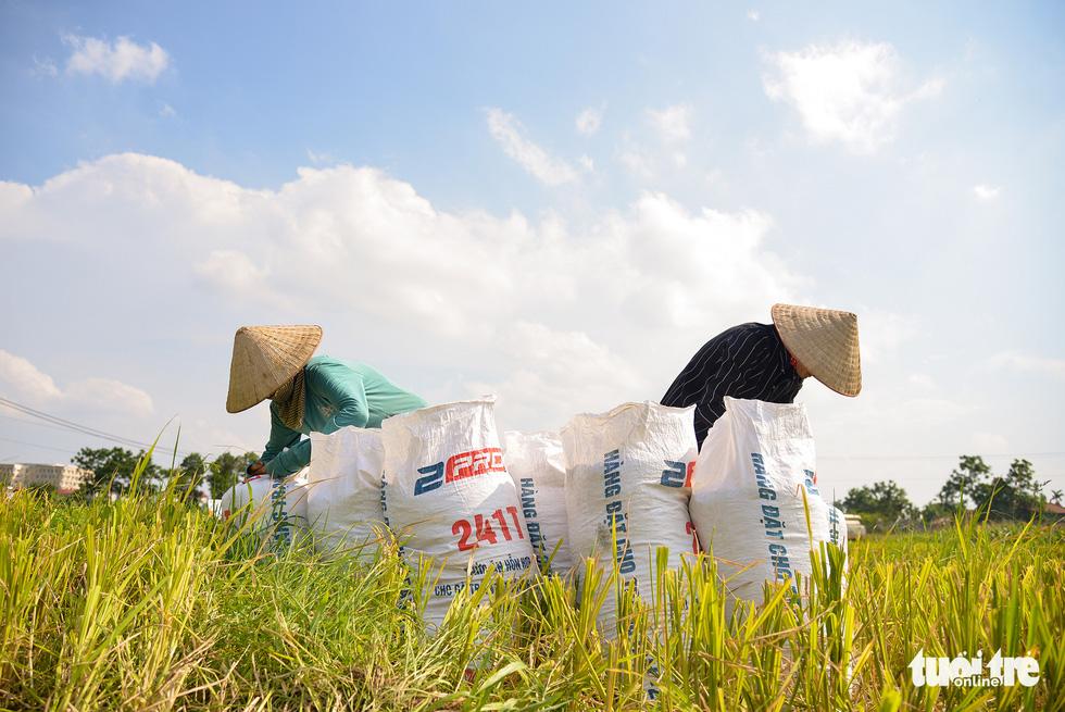 Tháng năm mùa gặt về, nông dân 'đội nắng' ra đồng thu hoạch lúa - Ảnh 6.