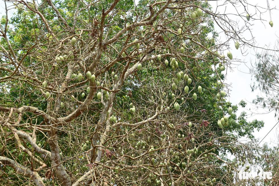 Bọ to hơn hột mít ăn trụi vườn cây ăn trái tại Bình Phước - Ảnh 3.