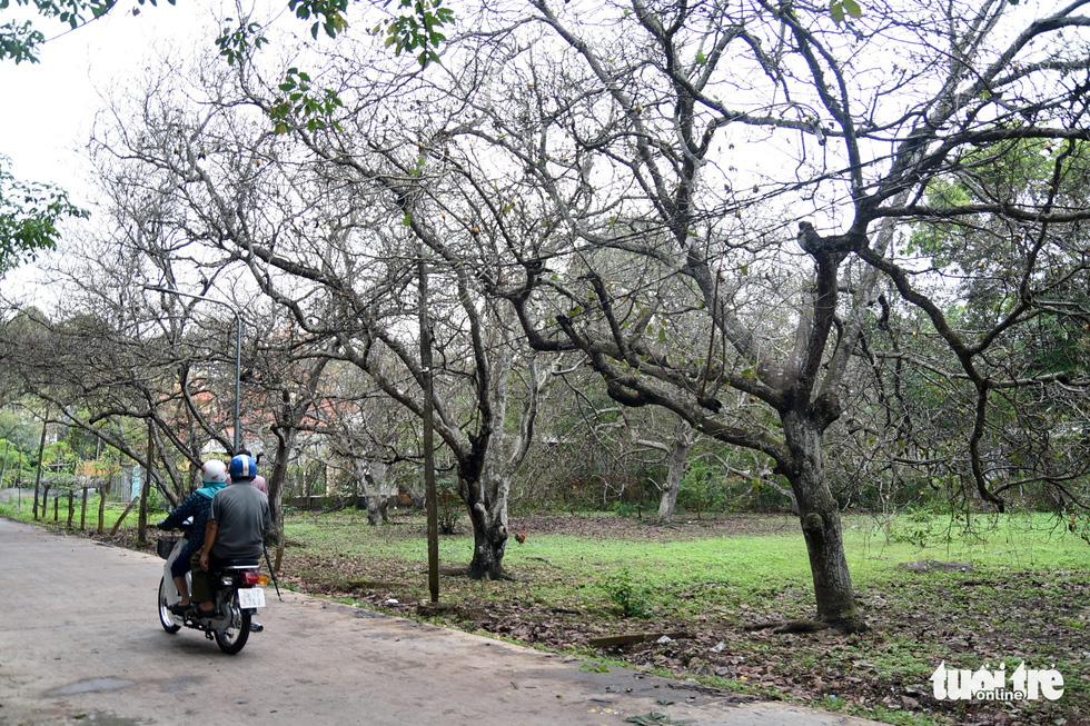Bọ to hơn hột mít ăn trụi vườn cây ăn trái tại Bình Phước - Ảnh 5.