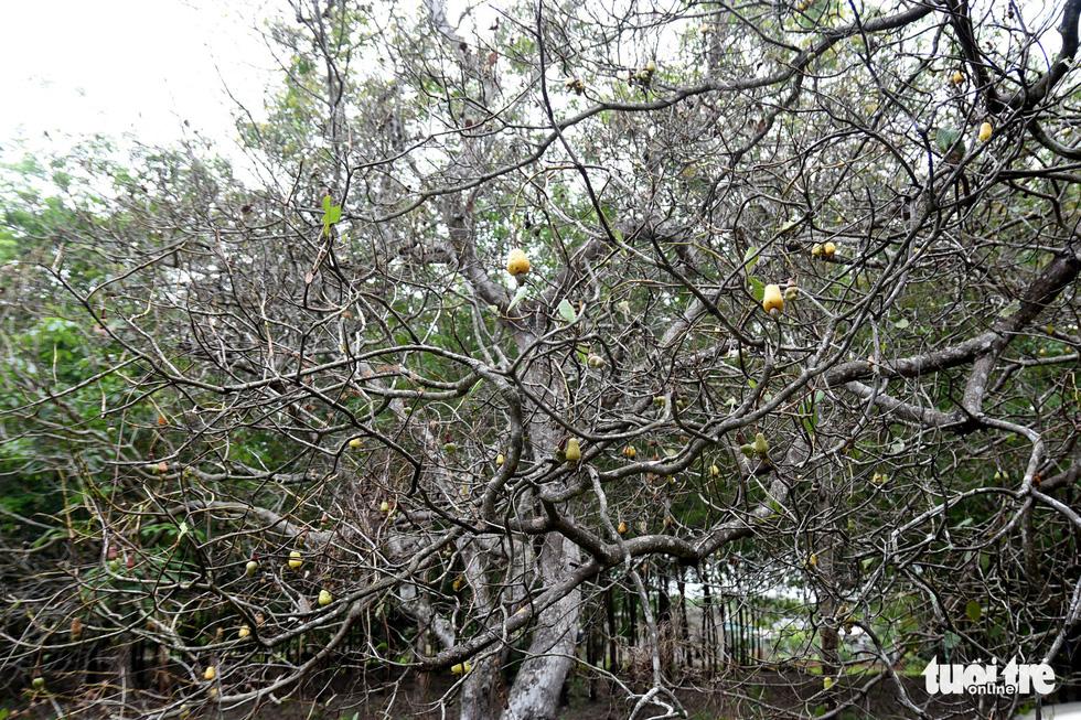 Bọ to hơn hột mít ăn trụi vườn cây ăn trái tại Bình Phước - Ảnh 4.