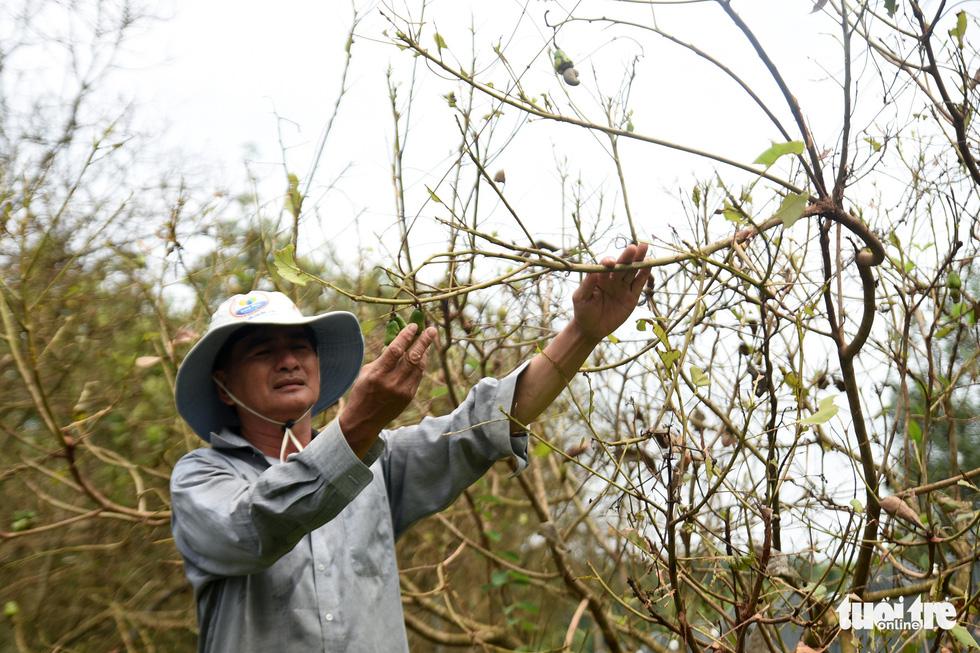 Bọ to hơn hột mít ăn trụi vườn cây ăn trái tại Bình Phước - Ảnh 6.