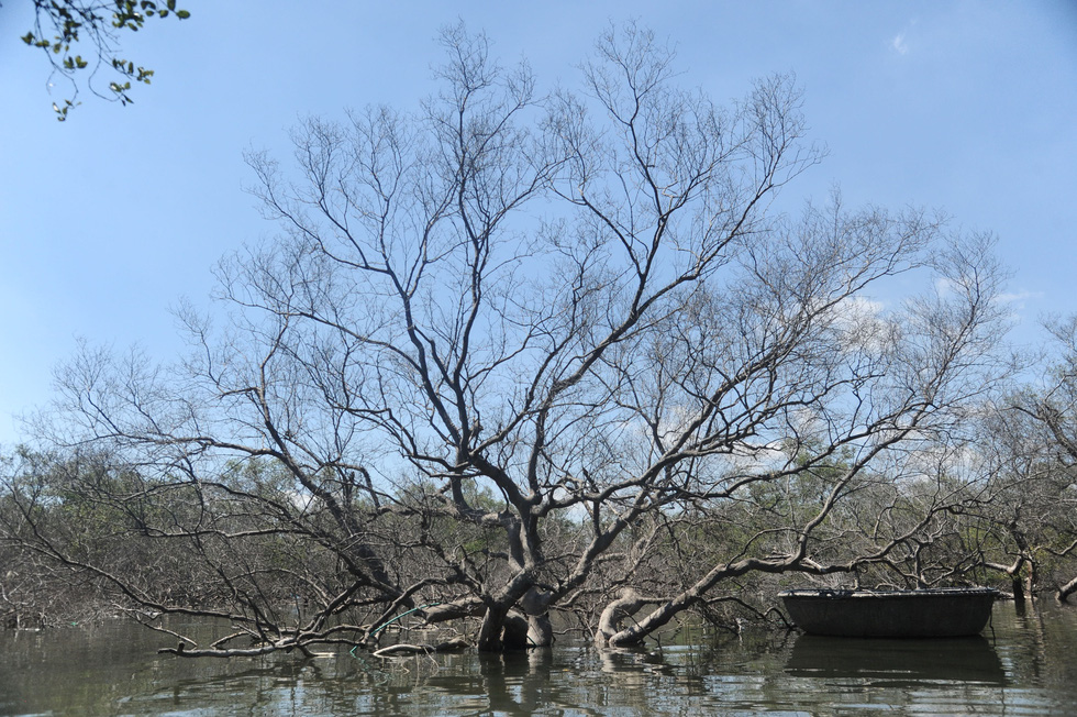Nhiều diện tích rừng ngập mặn chết không rõ nguyên nhân - Ảnh 4.