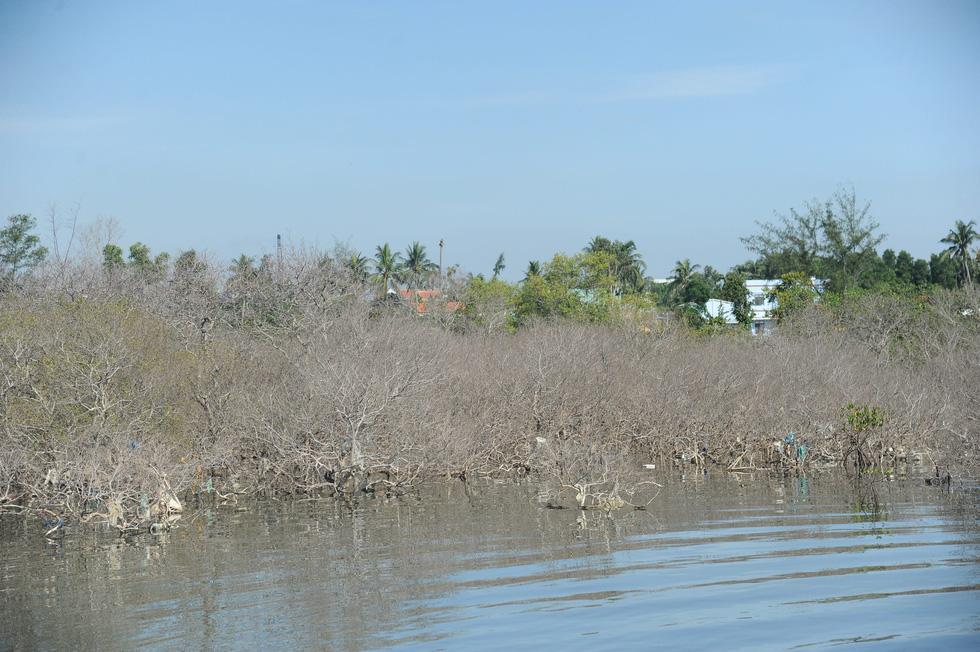 Nhiều diện tích rừng ngập mặn chết không rõ nguyên nhân - Ảnh 2.