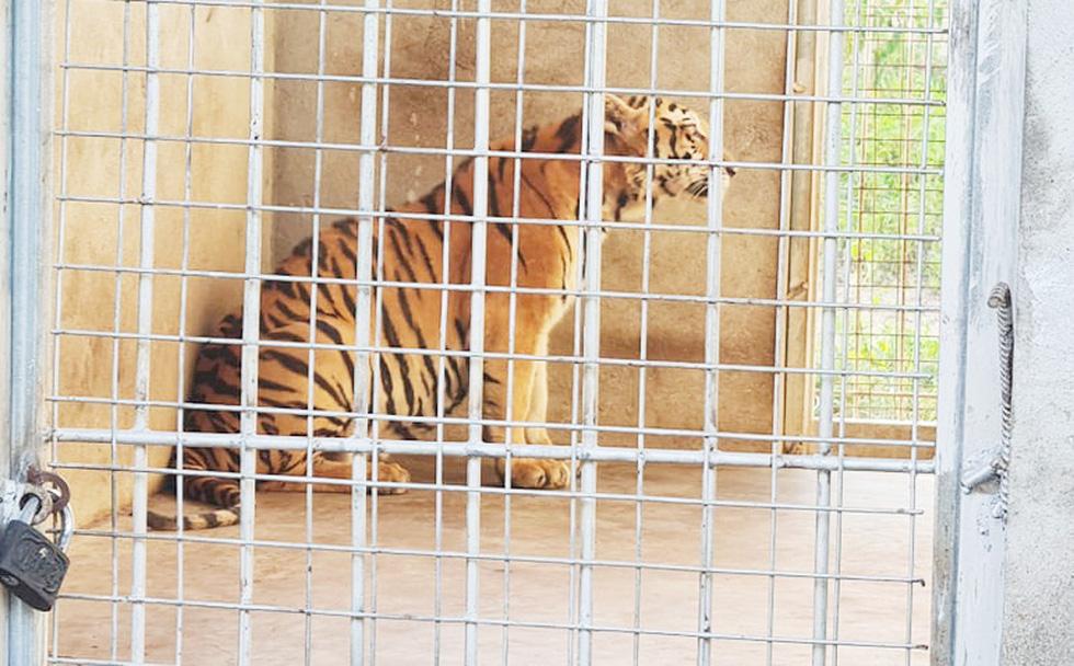 Cận cảnh 9 con hổ ở Nghệ An còn sống sau vụ 'giải cứu' - Ảnh 3.
