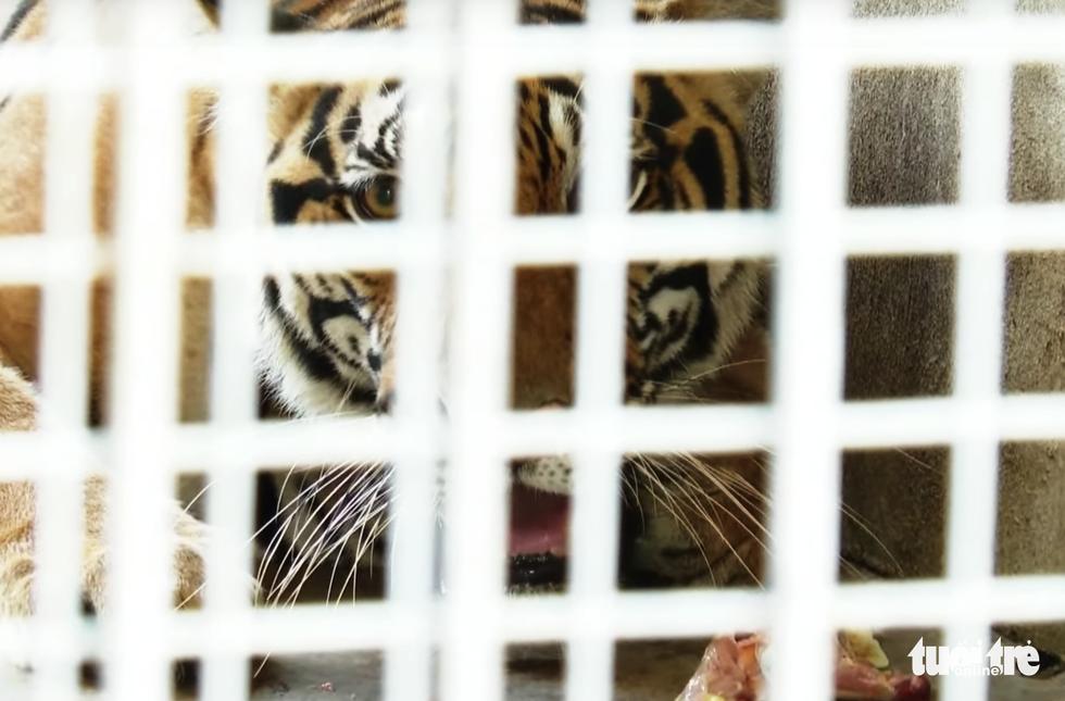 Cận cảnh 9 con hổ ở Nghệ An còn sống sau vụ 'giải cứu' - Ảnh 8.