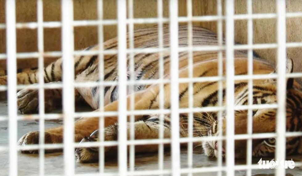 Cận cảnh 9 con hổ ở Nghệ An còn sống sau vụ 'giải cứu' - Ảnh 5.