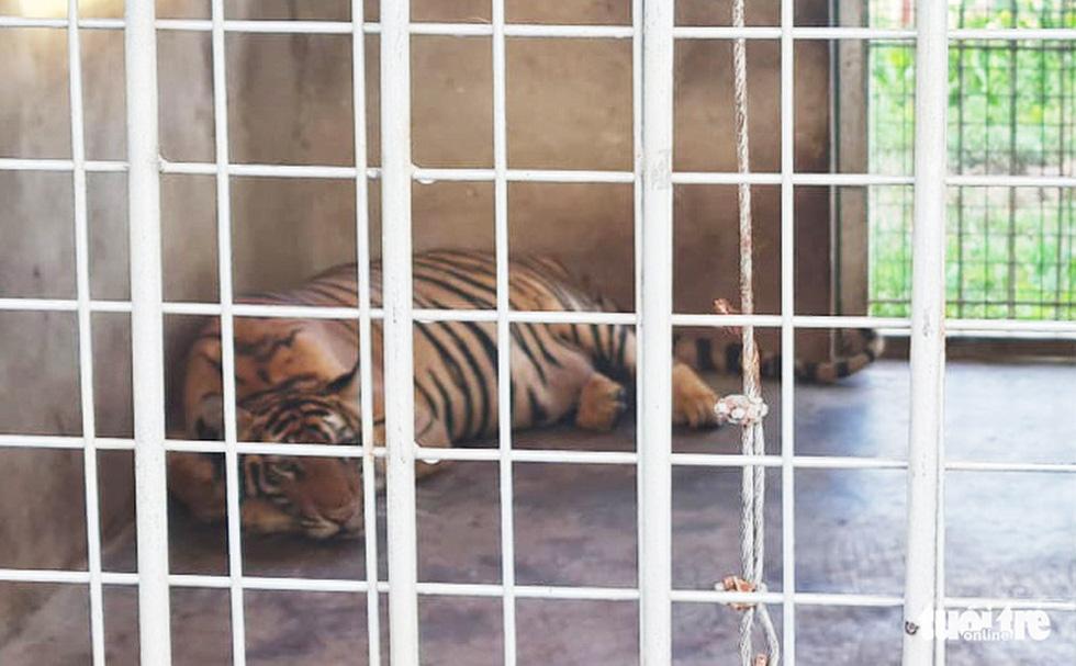 Cận cảnh 9 con hổ ở Nghệ An còn sống sau vụ 'giải cứu' - Ảnh 6.