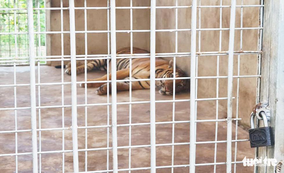 Cận cảnh 9 con hổ ở Nghệ An còn sống sau vụ 'giải cứu' - Ảnh 7.