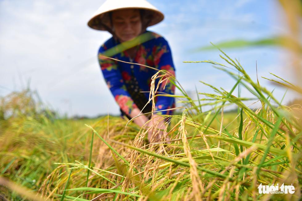 Gặt lúa, bắt cá mưu sinh giữa TP.HCM trong mùa dịch - Ảnh 3.