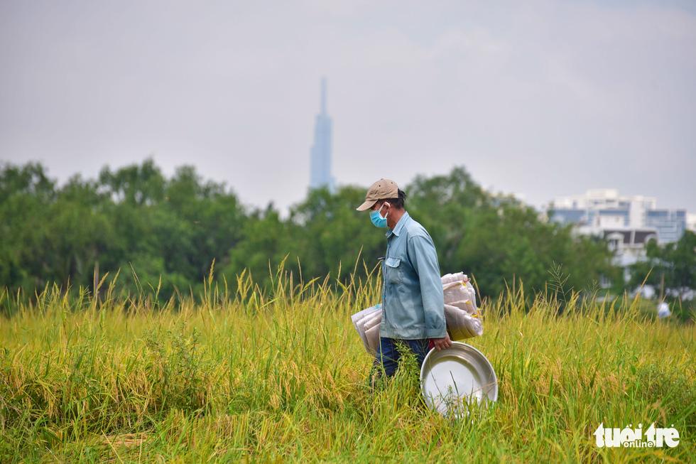 Gặt lúa, bắt cá mưu sinh giữa TP.HCM trong mùa dịch - Ảnh 2.