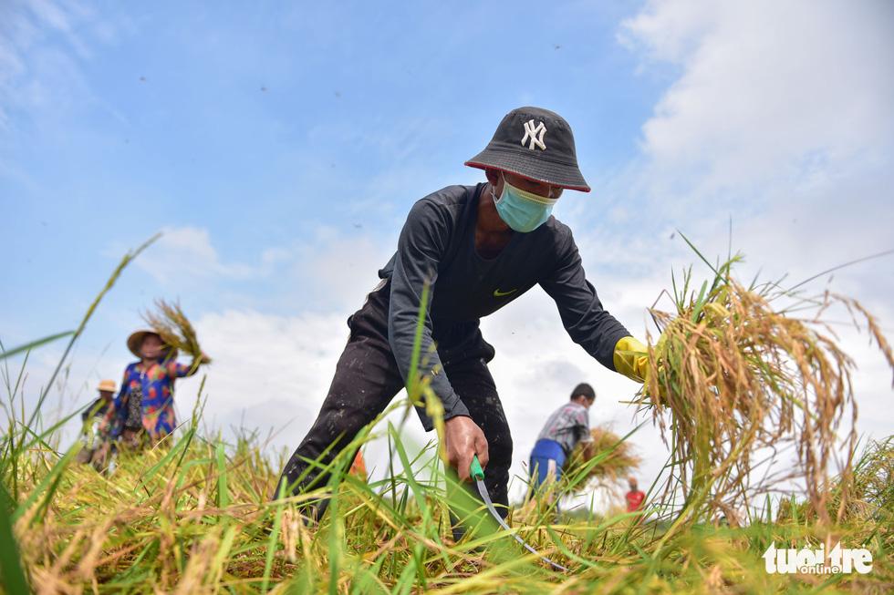 Gặt lúa, bắt cá mưu sinh giữa TP.HCM trong mùa dịch - Ảnh 1.