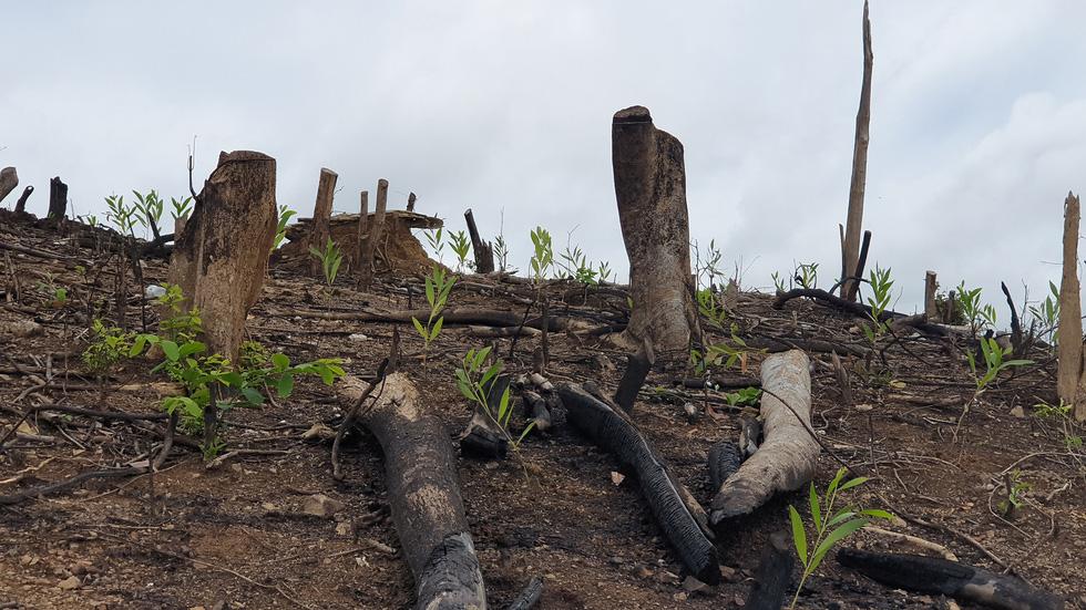 Rừng tự nhiên ở Phú Yên lại bị tàn phá: Lợi dụng dịch COVID-19 để phá rừng? - Ảnh 2.