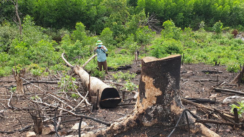 Rừng tự nhiên ở Phú Yên lại bị tàn phá: Lợi dụng dịch COVID-19 để phá rừng? - Ảnh 9.