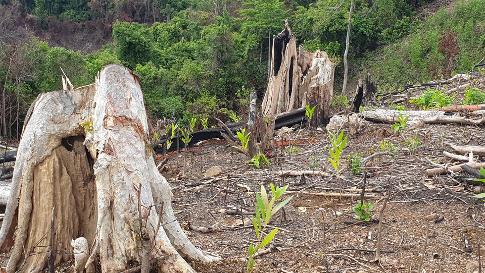 Rừng tự nhiên ở Phú Yên lại bị tàn phá: Lợi dụng dịch COVID-19 để phá rừng? - Ảnh 3.