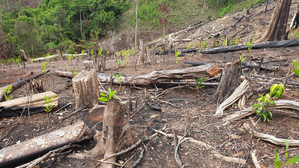 Rừng tự nhiên ở Phú Yên lại bị tàn phá: Lợi dụng dịch COVID-19 để phá rừng? - Ảnh 7.