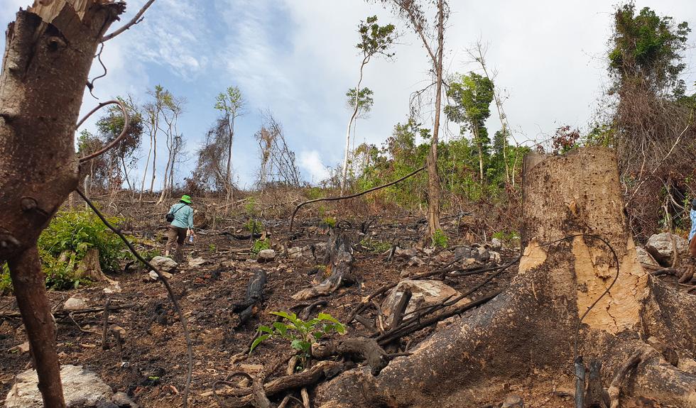 Rừng tự nhiên ở Phú Yên lại bị tàn phá: Lợi dụng dịch COVID-19 để phá rừng? - Ảnh 6.