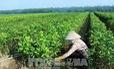 Tạo lập cơ chế tích tụ, tập trung ruộng đất cho sản xuất quy mô