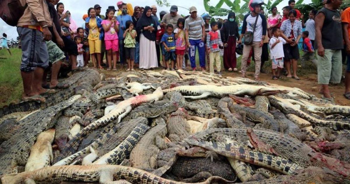 Đám đông giận dữ giết gần 300 con cá sấu để trả thù cho hàng xóm