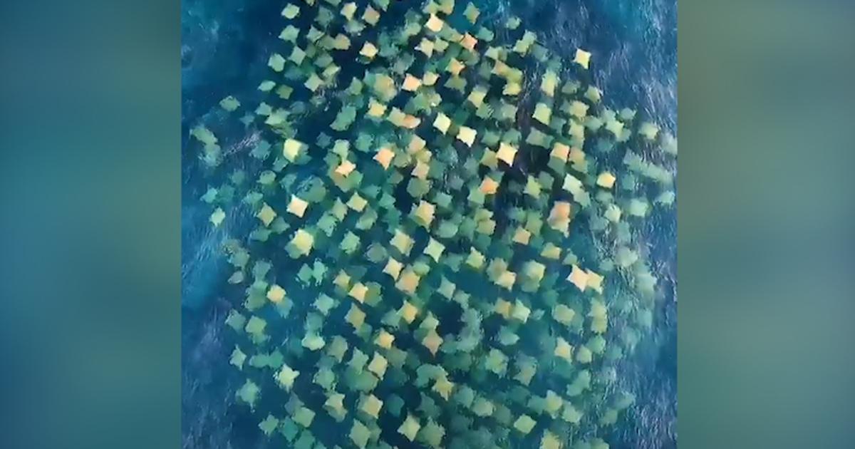 Kinh ngạc bầy cá đuối nhìn từ trên cao như những cái gối dập dềnh