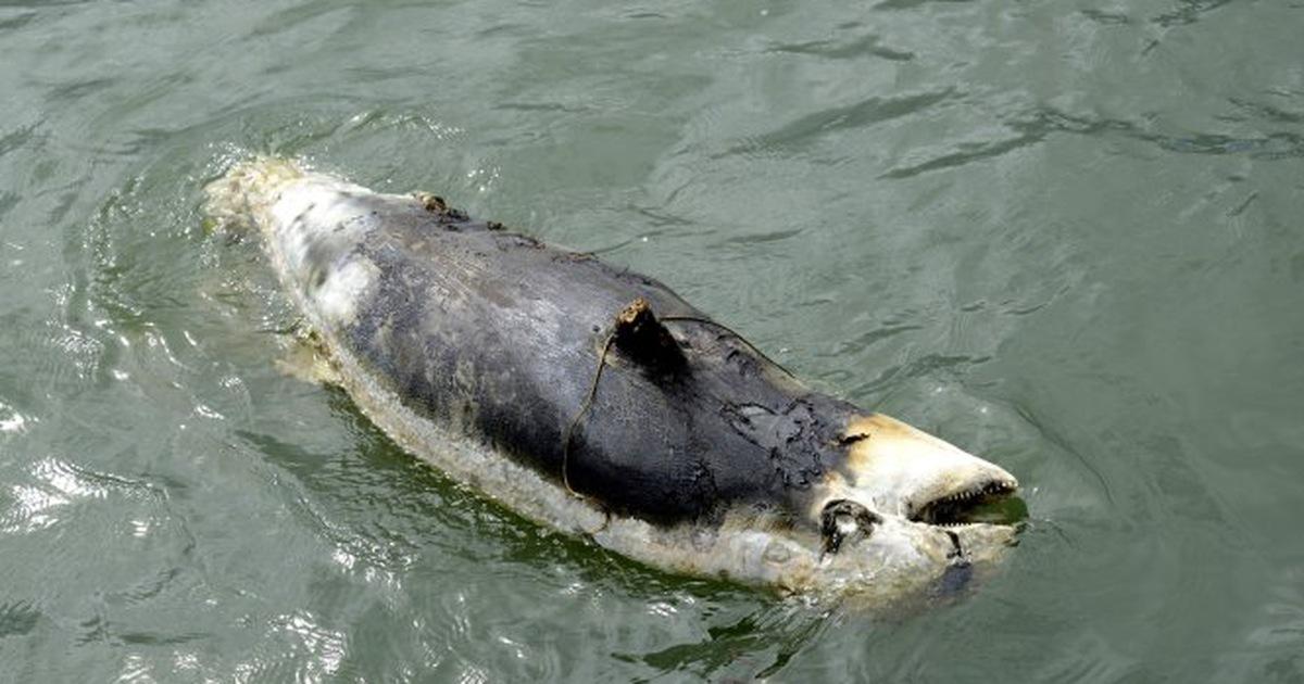 Bò biển chết gần đảo Phú Quốc, chuyện gì đã xảy ra?