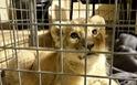 Cảnh sát Pháp bắt giữ sư tử 'Putin'