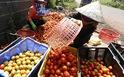 """Nông dân thua lỗ nặng vì bị cung cấp giống cà chua """"lạ"""""""